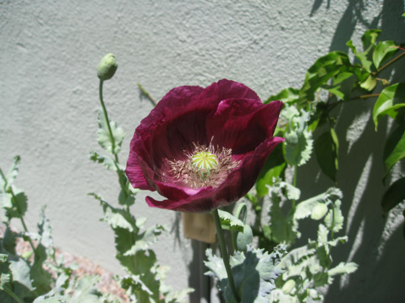 This poppy inspires instant happiness.