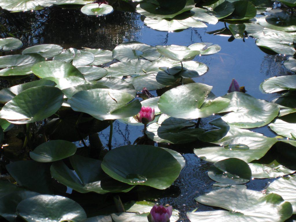 Colorful lotus flowers float on gentle waters