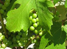 Picture perfect grapes on a vine