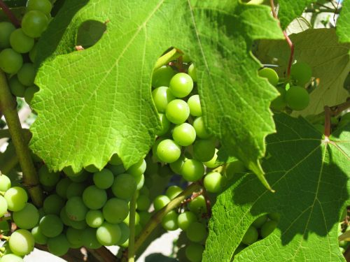 Read more about the article Ask Gardenerd: Mildew on Grapes