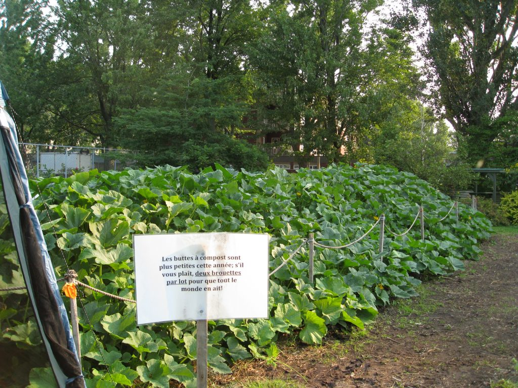 Yes, it's a compost pile, but it's also a volunteer squash bed.