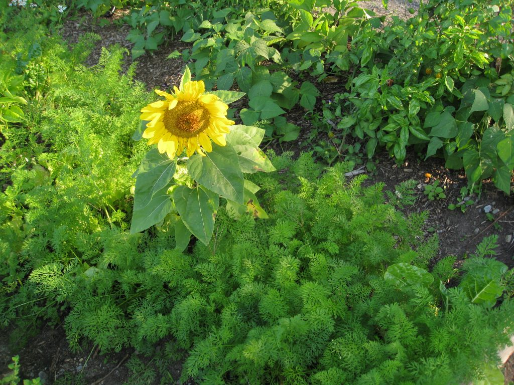 Carrot tops make a great backdrop for sunflowers