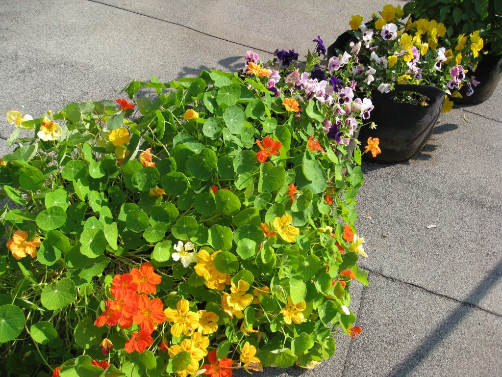 Nasturtiums and other flowers brightened up the urban setting.