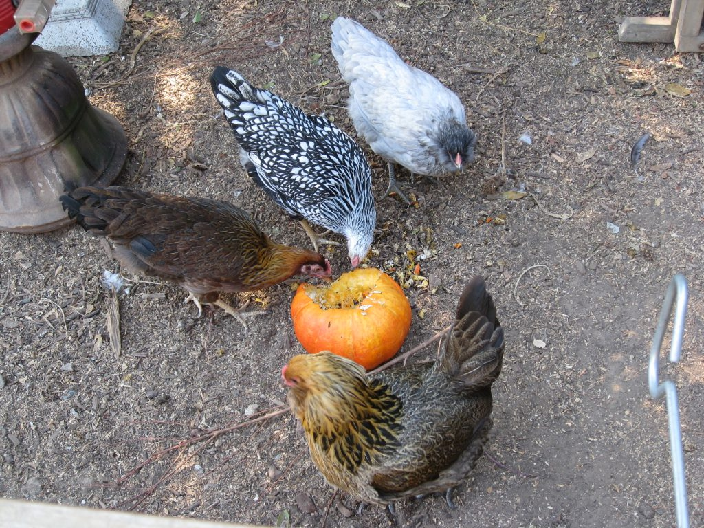 Pumpkin is a great snack for chickens, and the seeds help prevent worms.