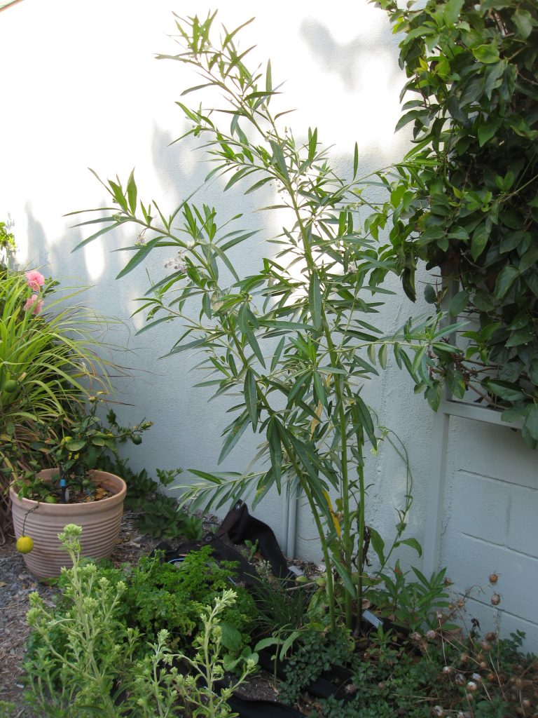 Milkweed stands about 6 feet tall