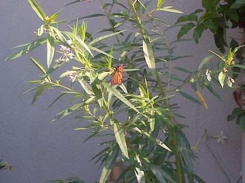 Read more about the article Ask Gardenerd: Milkweed for New York?