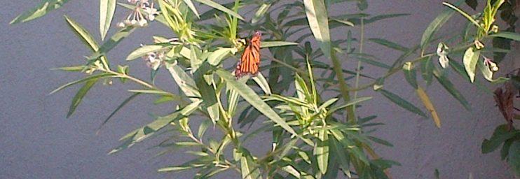 Monarch on a happy milkweed plant