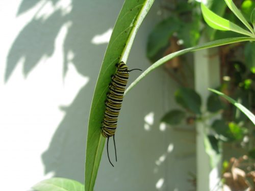 Read more about the article Milkweed and Monarchs – Update