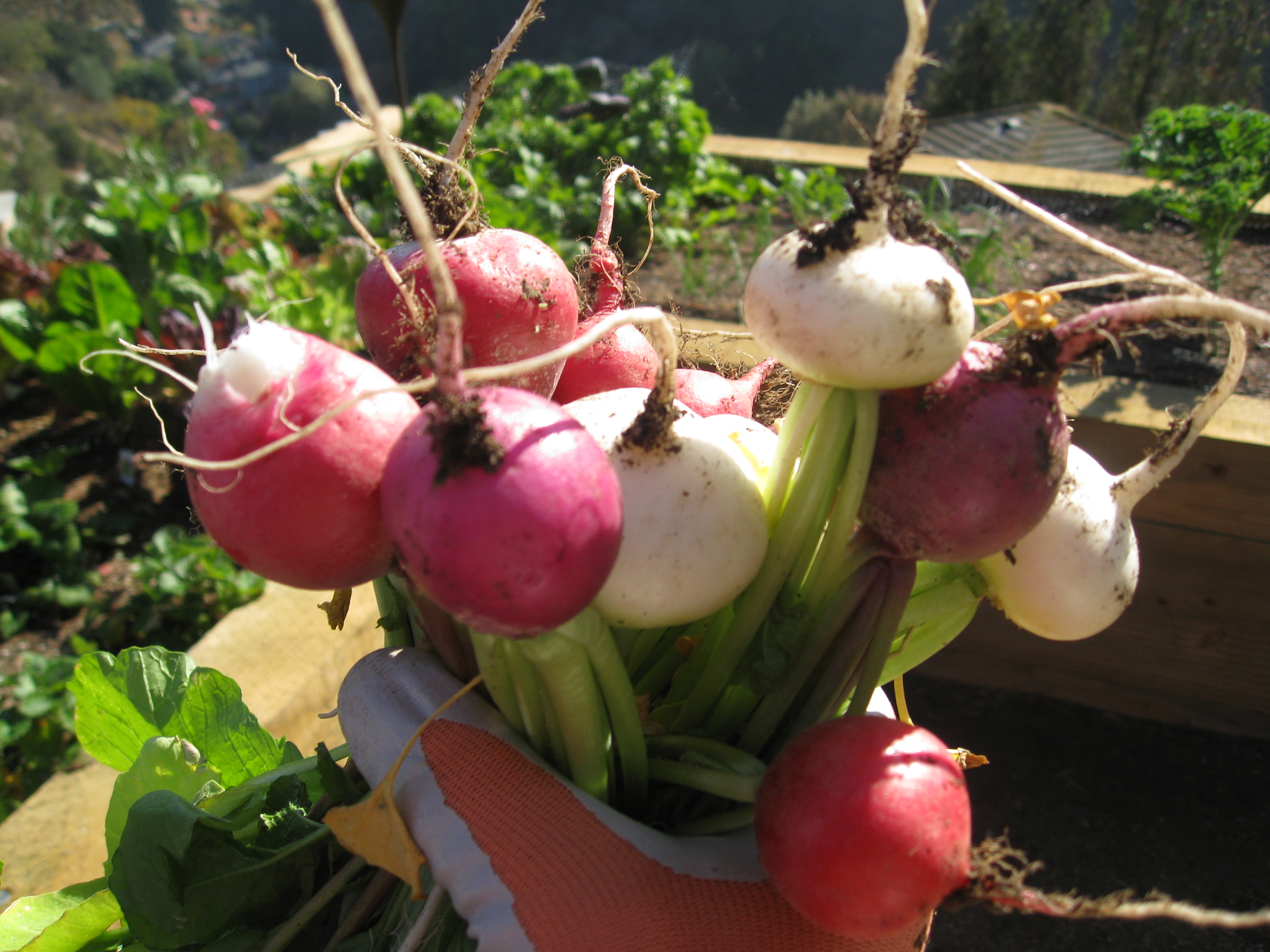 A Gardenerd client shows off this week's radish harvest