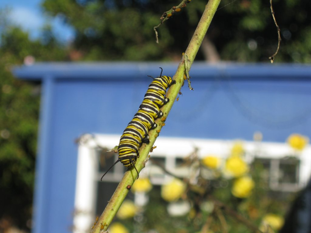 Monarch butterfly caterpillars eat milkweed along their journey.