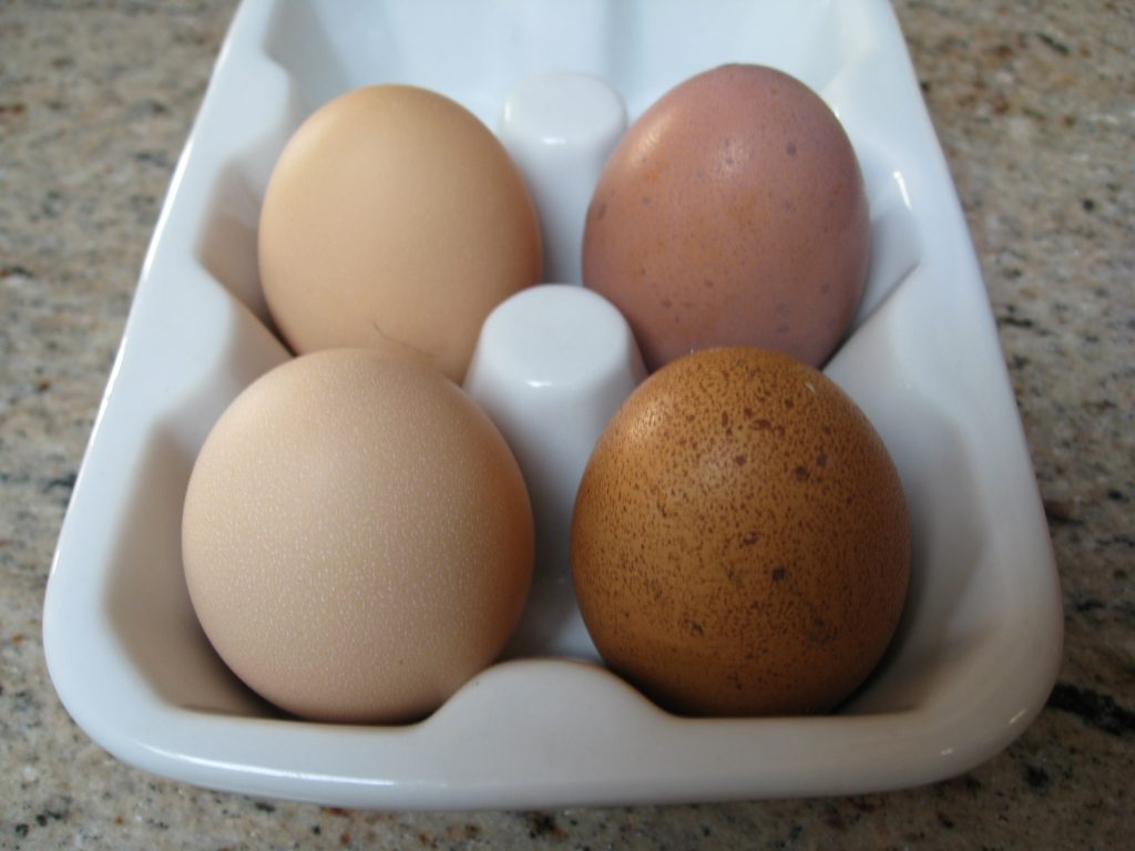 Sylvia's (left) and Wilma's (right) first eggs