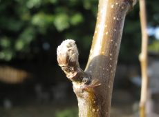 Buds are already forming in our warm winter climate.