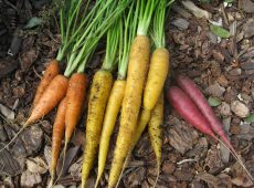 Multicolored carrots include Yellowstone, Cosmic Purple and Scarlet Nantes