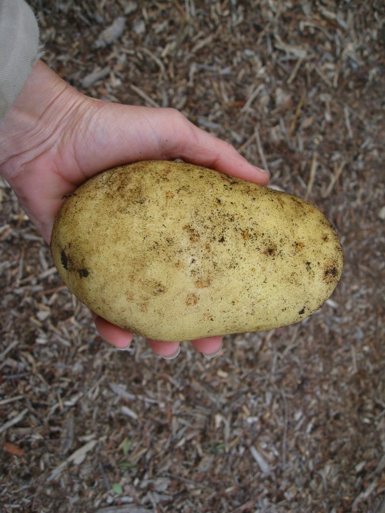 We're accustomed to small, but savory potatoes. This one tipped the scale at 14.5 oz.