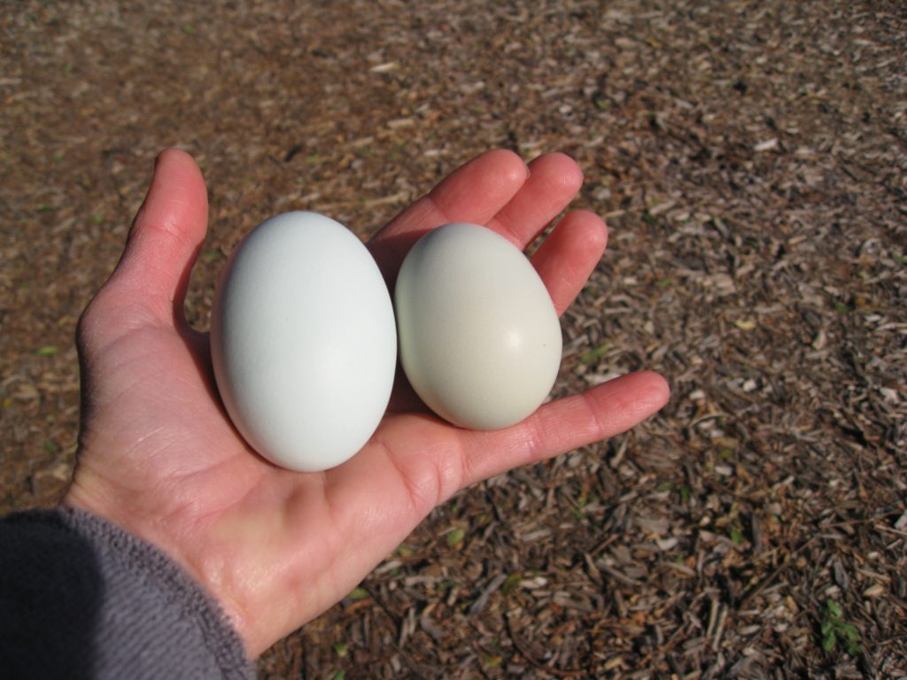 Ethel's blue and Anabelle's green/gray egg