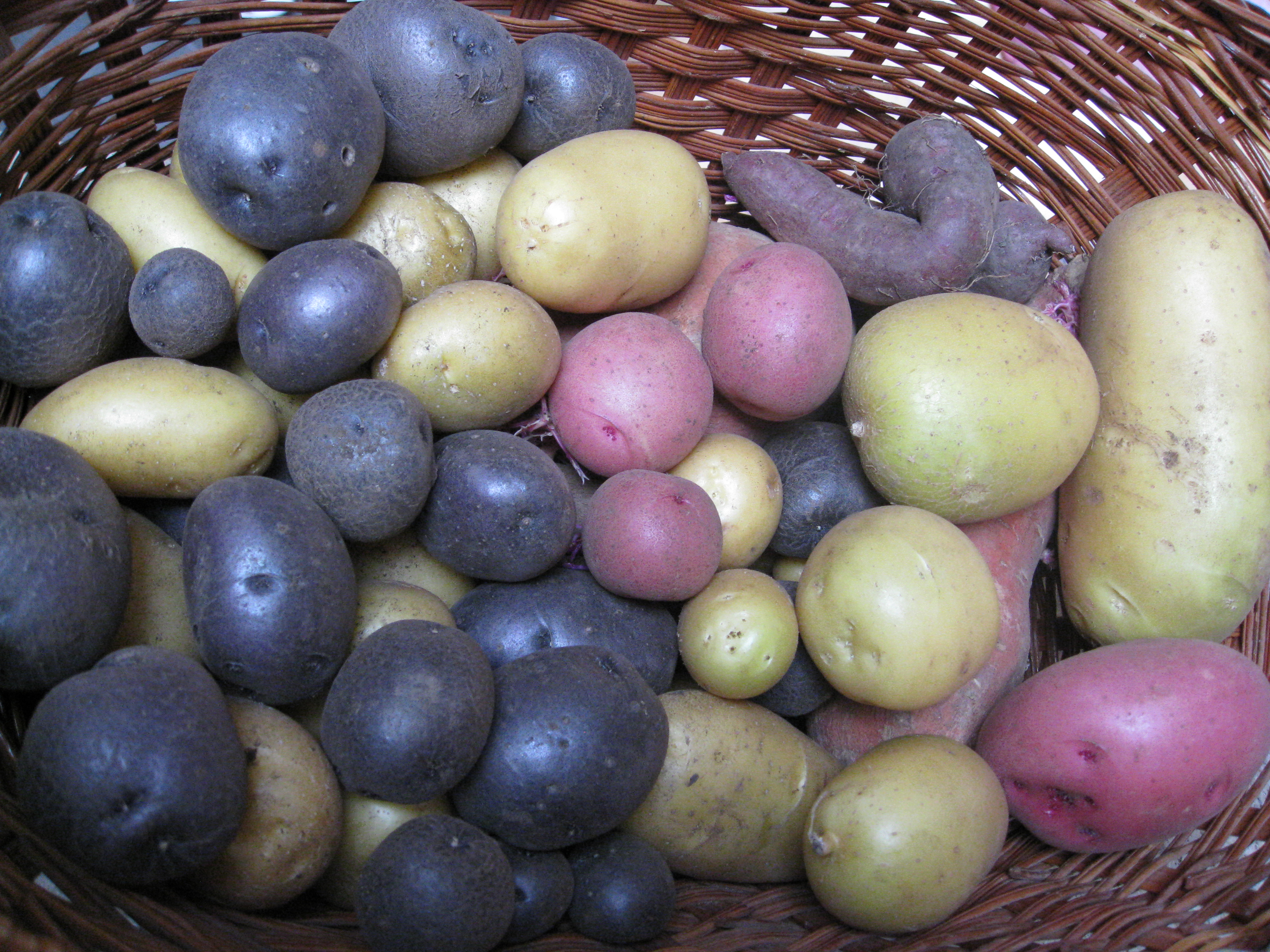 All-blue, russet and red potatoes are jewels from the garden.