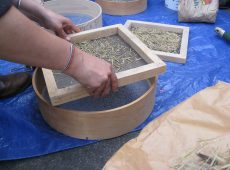 Step 2: Pour seeds into a screen that allows the seeds to fall through, but keeps the chaff.