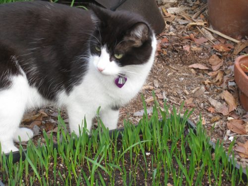 Read more about the article Cat Grass for a Happy Mittens