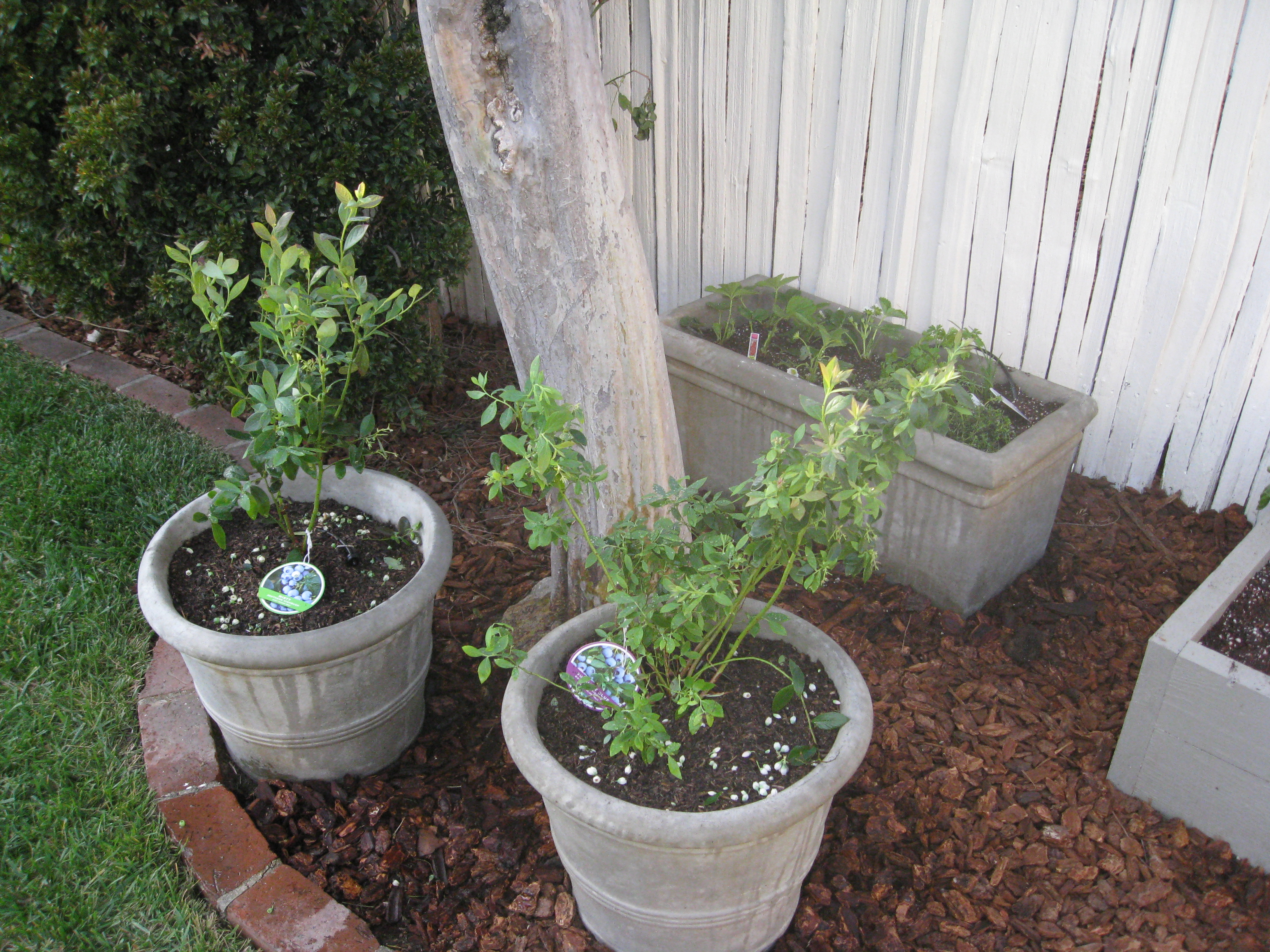 Blueberries (dwarf varieties) with strawberries and herbs around a tree.