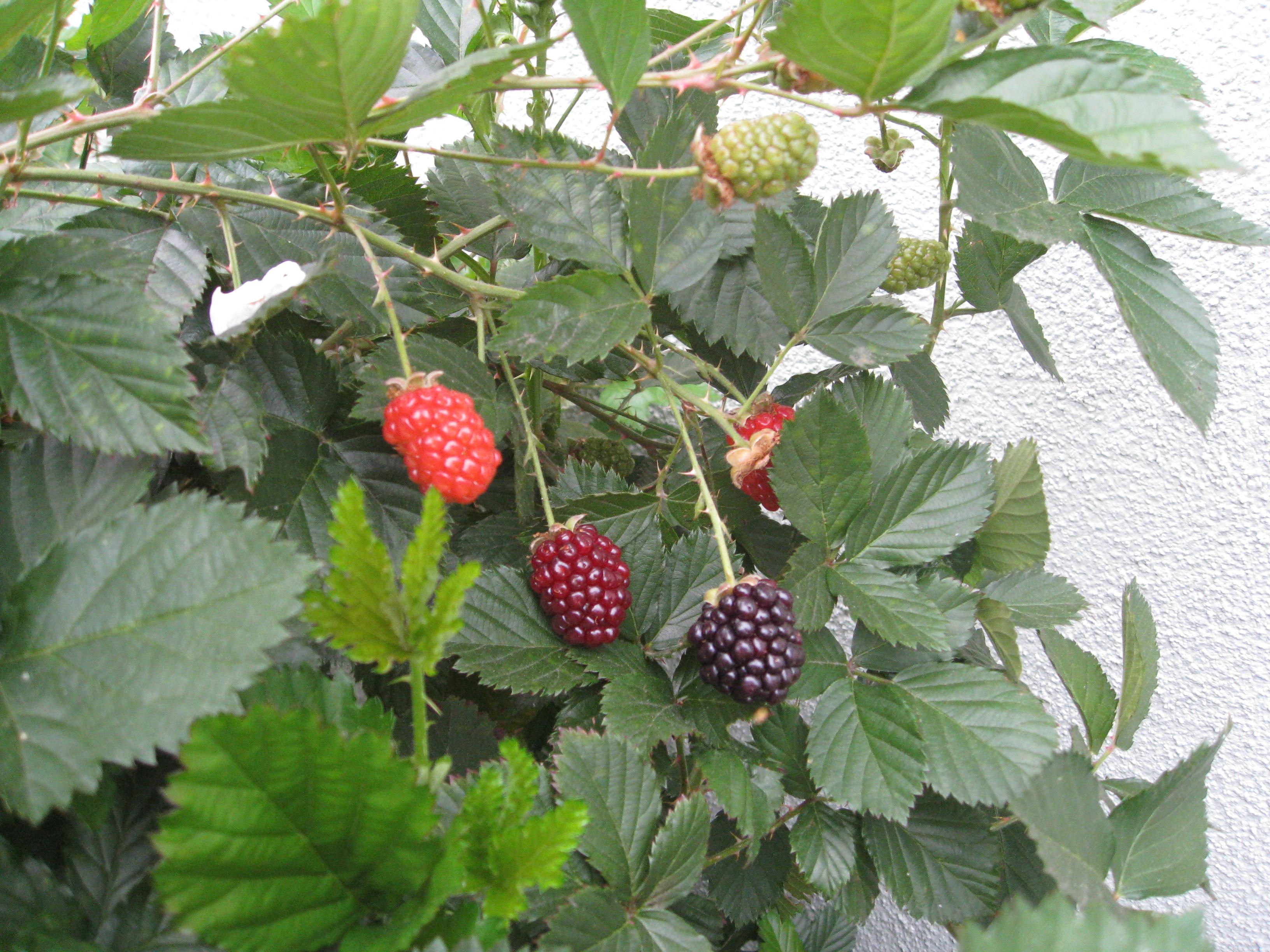First blackberries of the season