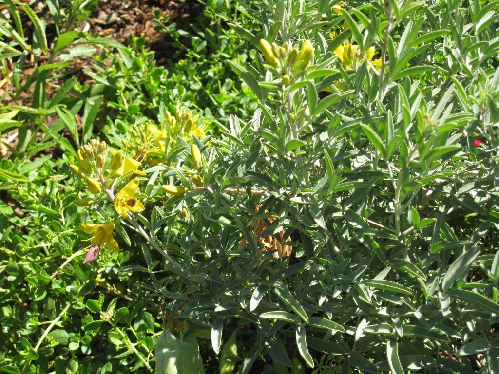 Isomeris arborea makes beautiful yellow flowers with interesting pods