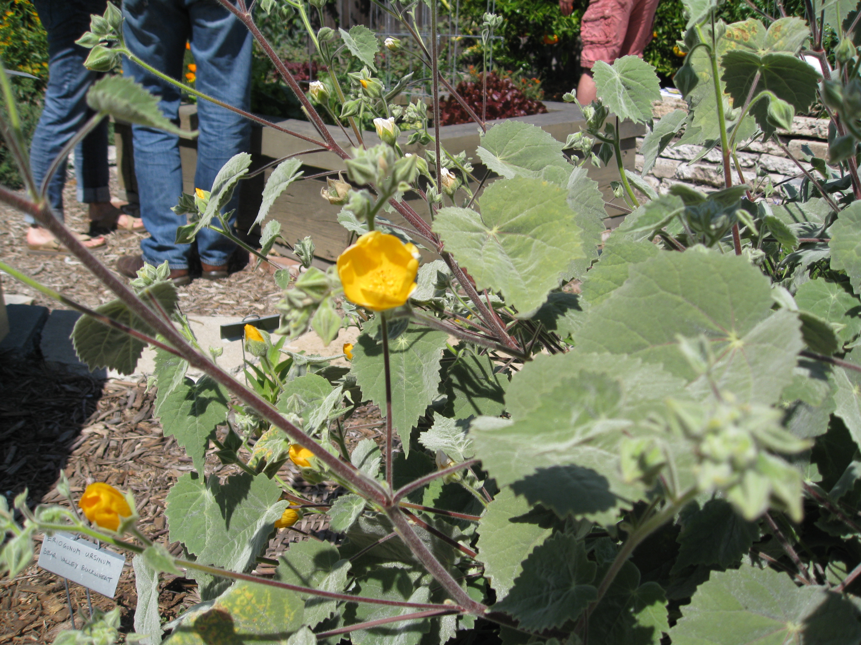 Abutilon Palmeri is great for filling in spaces with color and interesting foliage