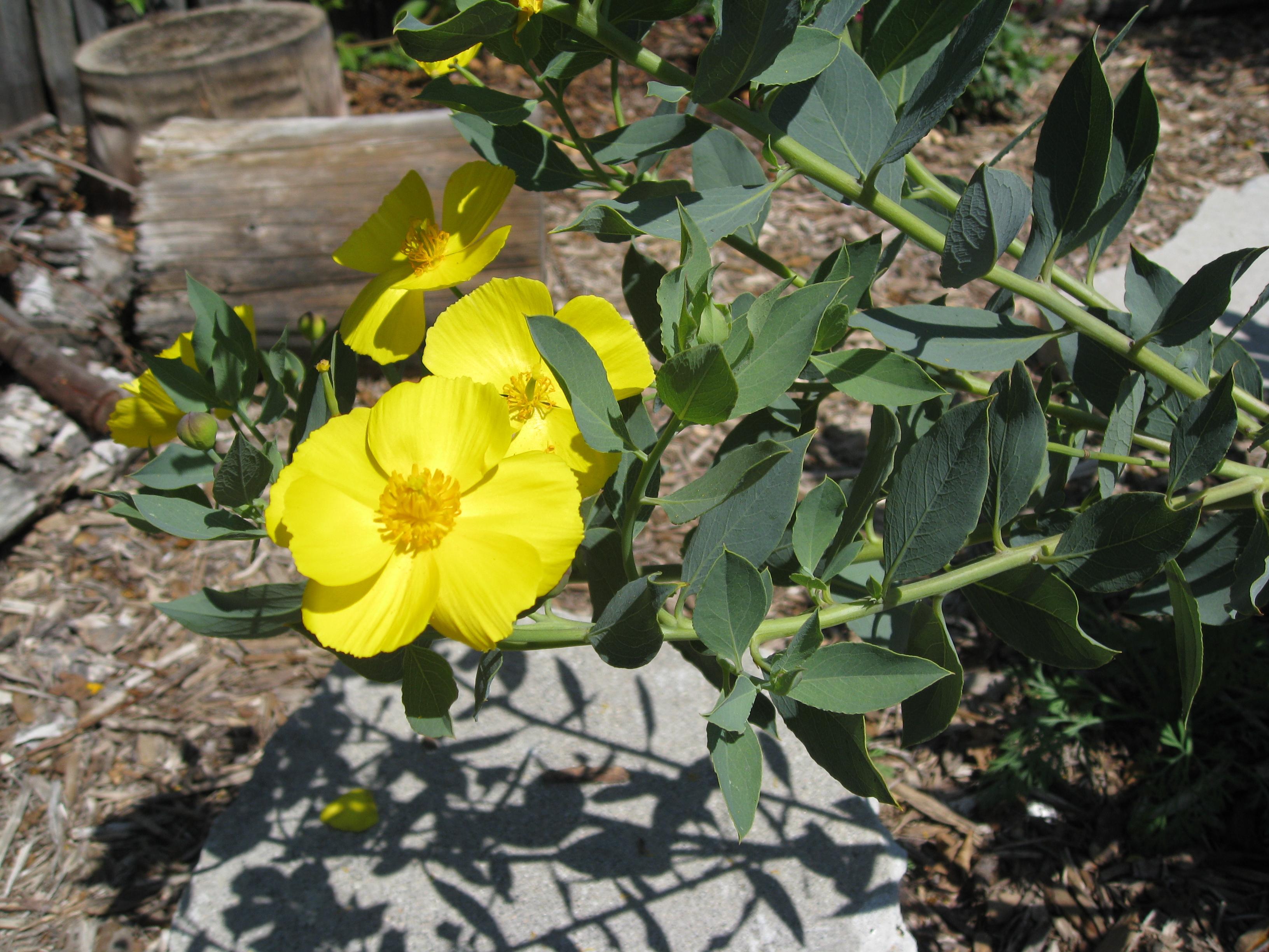 Dendromecon Hartfordii and it's cousin, Dendromecon rigida are sunny additions to any California native garden.