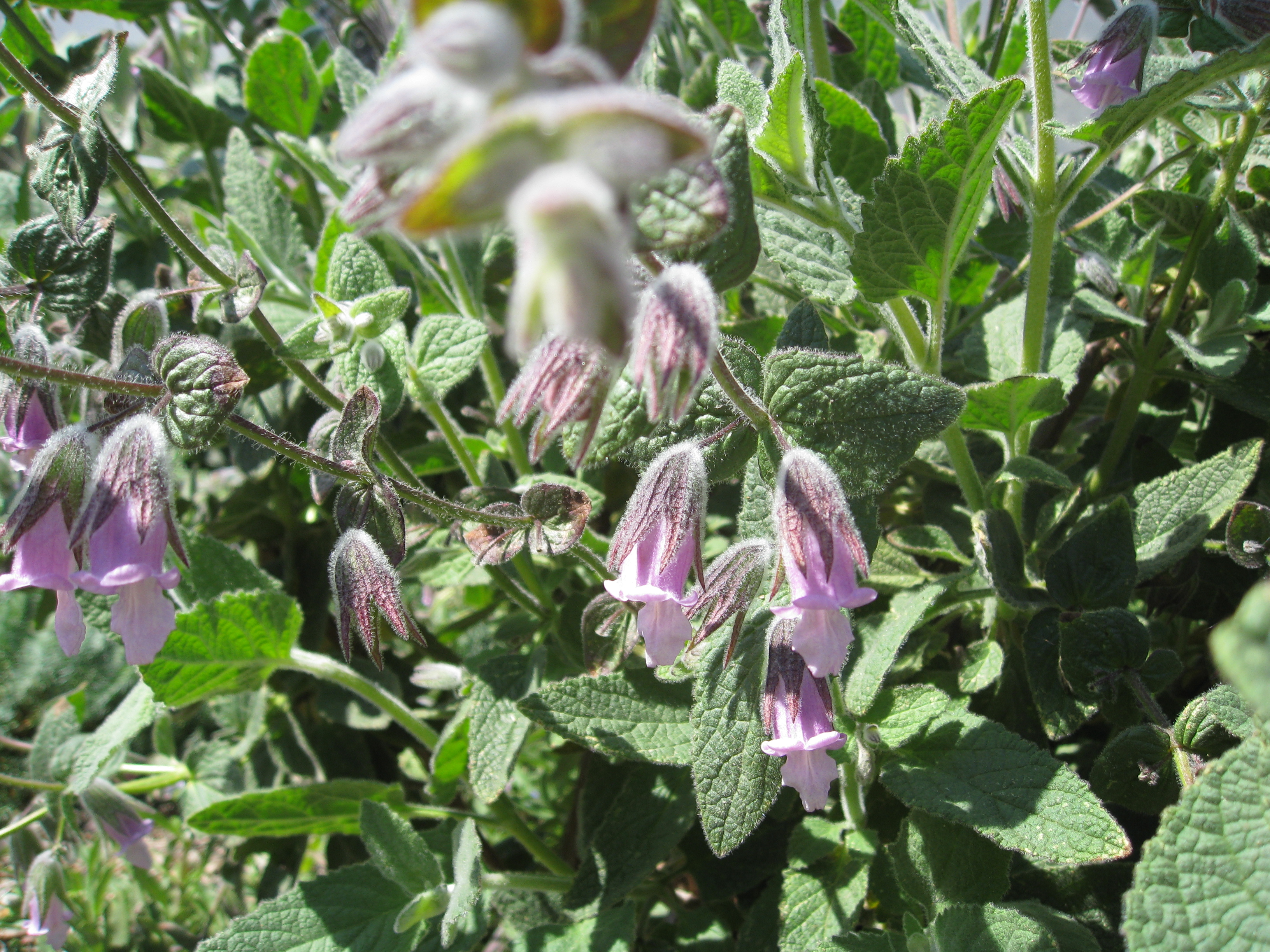 "Lepechinia Fragrans ""Le Tigre"" -- fragrant pitcher sage offers contrasting purple bell flowers that bees love."