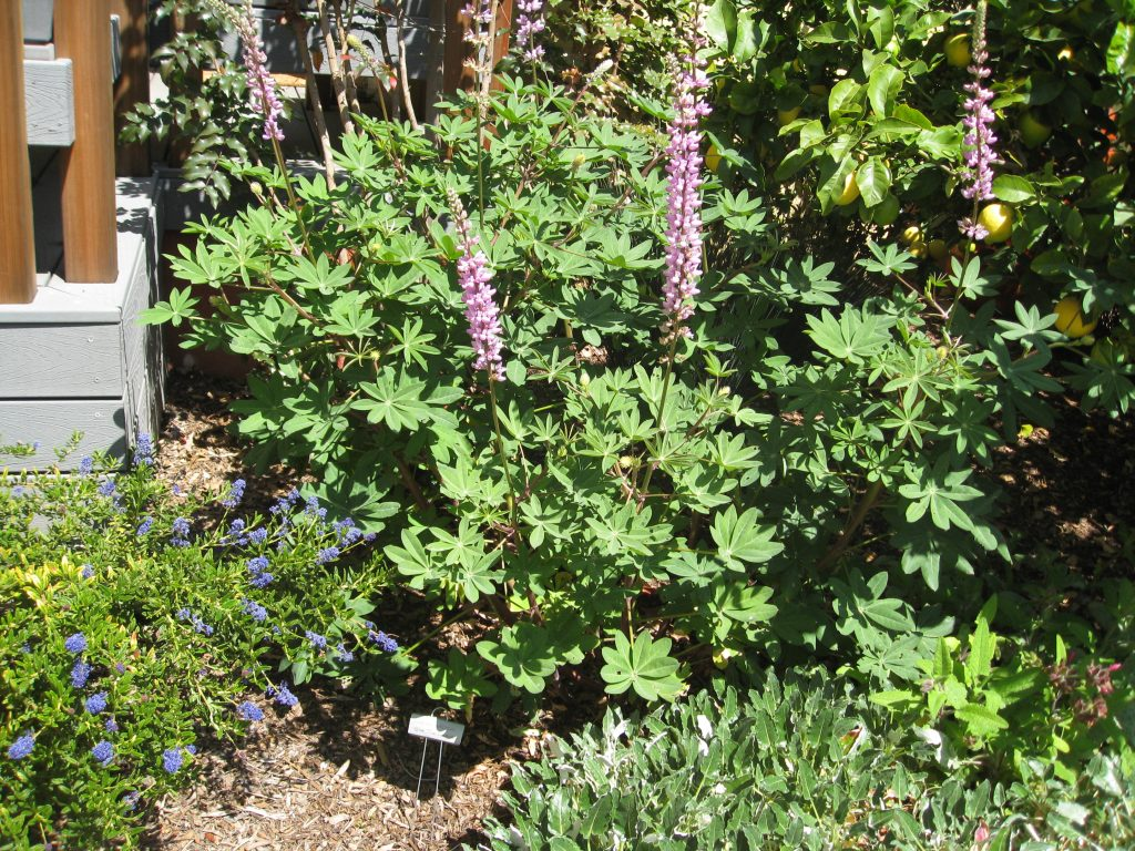 Lupinus arboreus is another shrub that goes well with fruit trees, ceanothus, hummingbird sage, and African daisies, shown above.