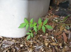 A volunteer tomato sprouted from under our compost storage tub.