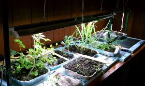 Grow plants under grow lights through winter. Start seeds too.