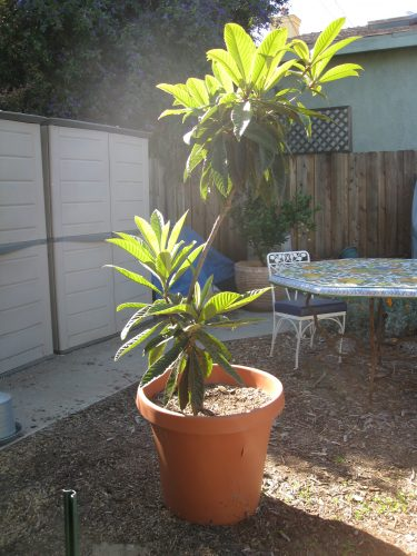 Read more about the article Loquat Season
