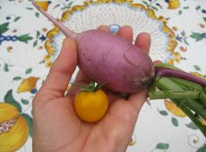 One of the smaller radishes we harvested next to a cherry tomato for perspective.