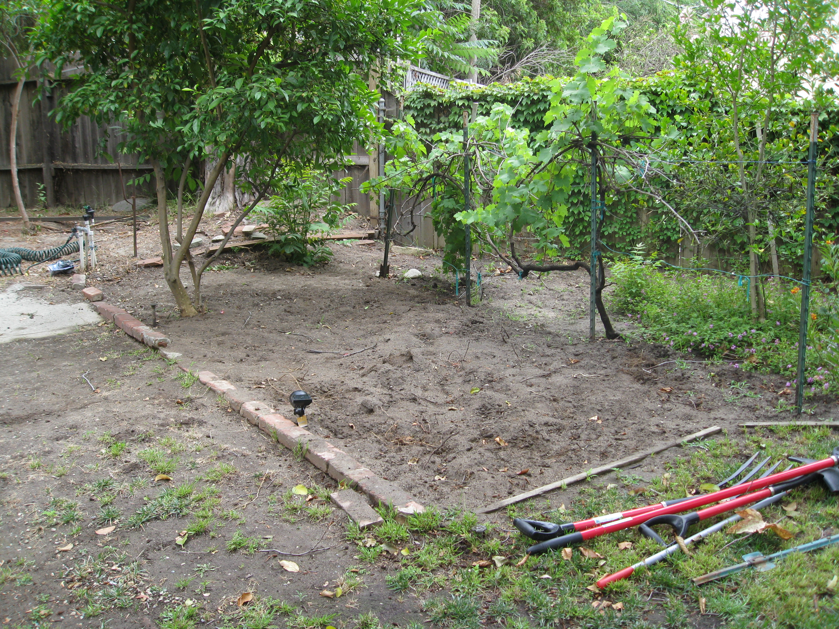 A citrus tree and grape vine form the boundaries of the garden space. Roots from nearby trees make digging difficult.