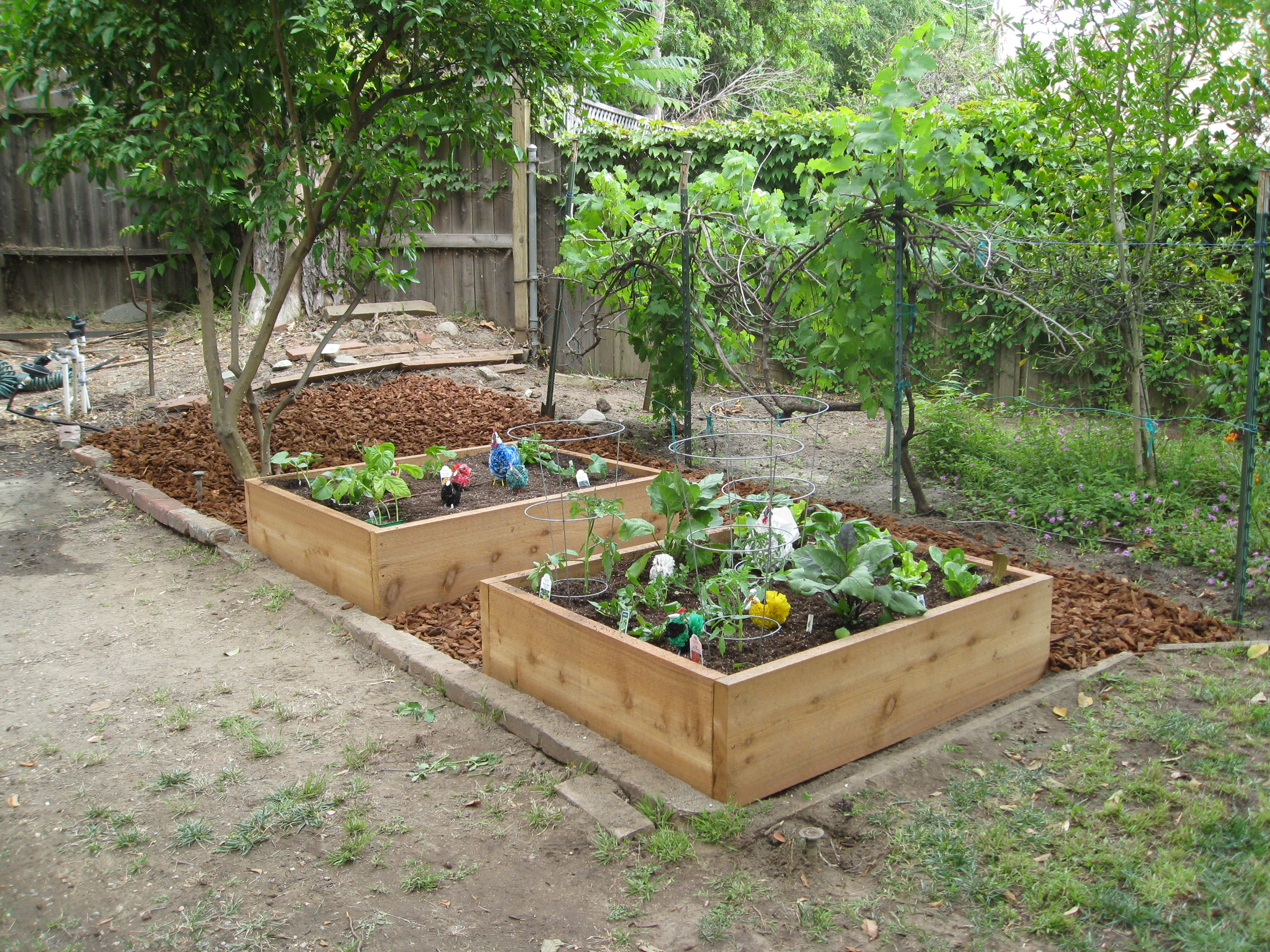 The finished product - 2 raised beds with biointensively planted crops