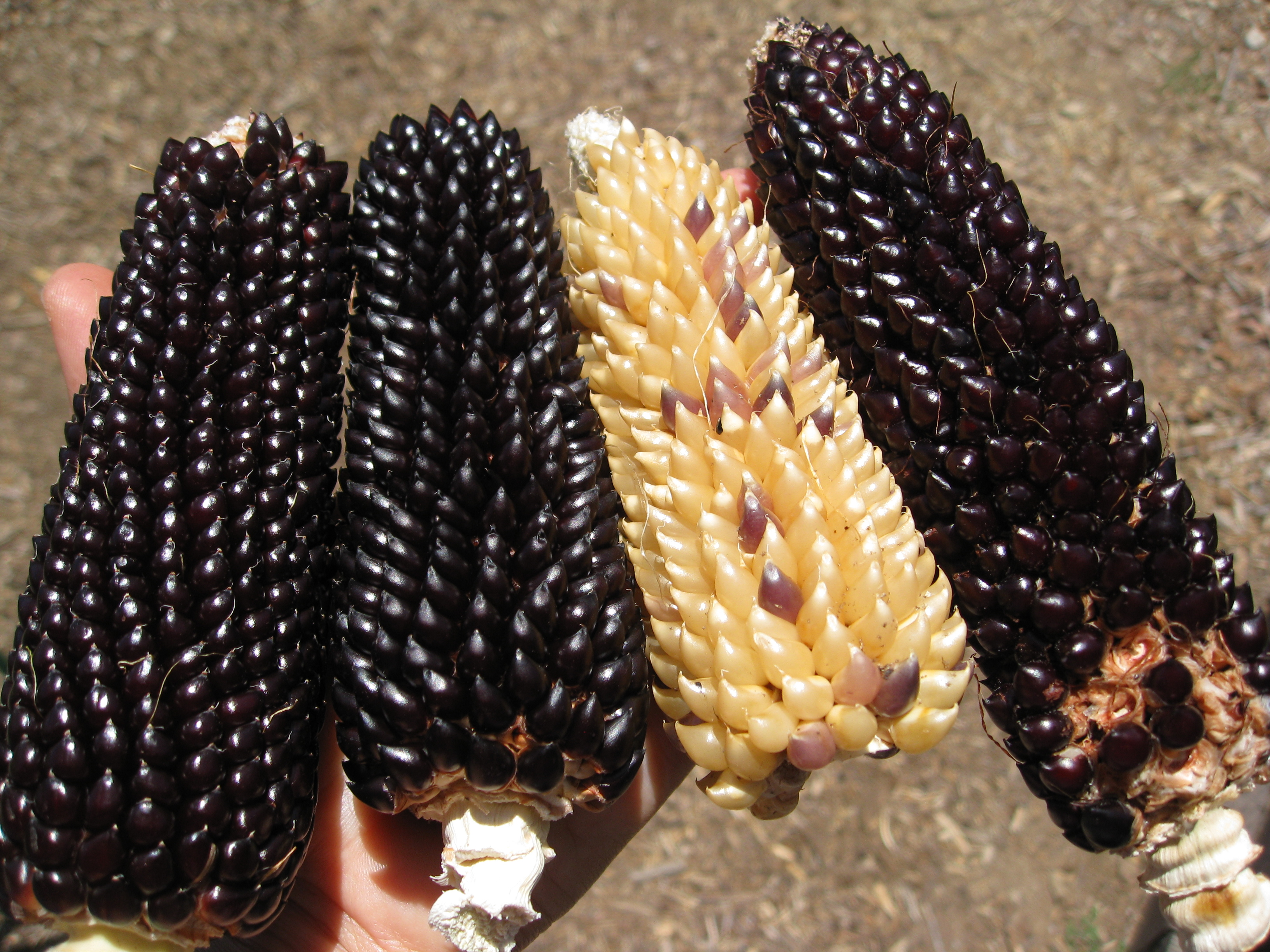 Harvesting Black Dakota Popping Corn Gardenerd