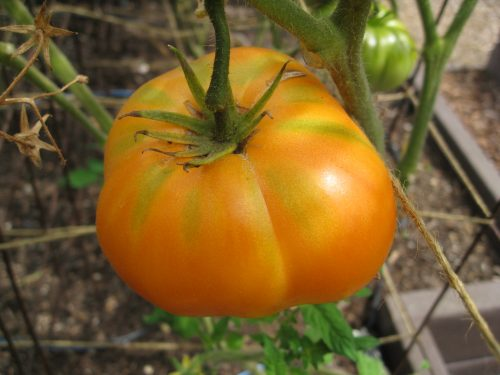 Read more about the article Tomatoes, Tomatoes, Tomatoes