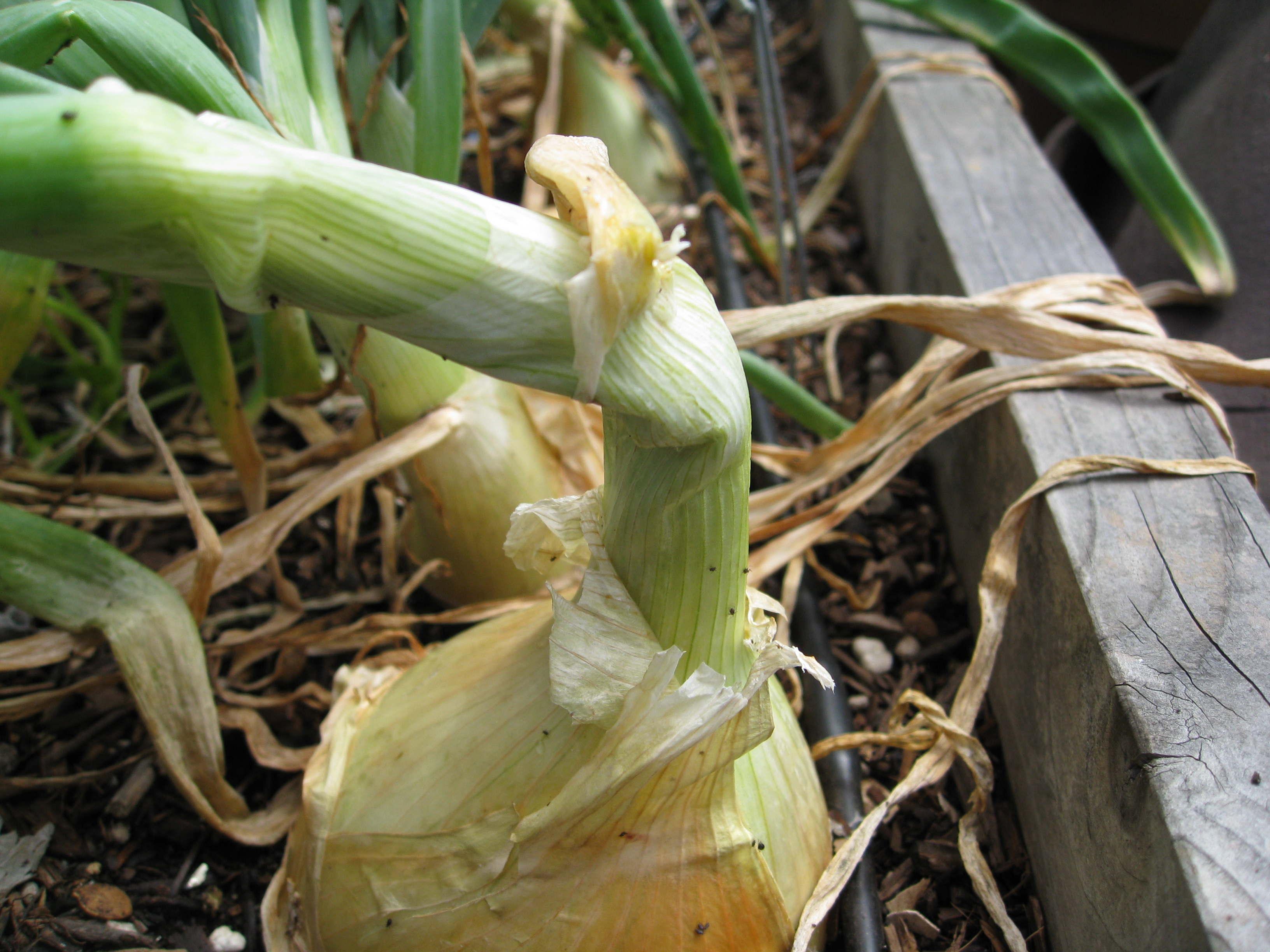 A yellow onion ready for harvest
