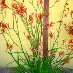 Kangaroo Paw - available in red, yellow and chartreuse