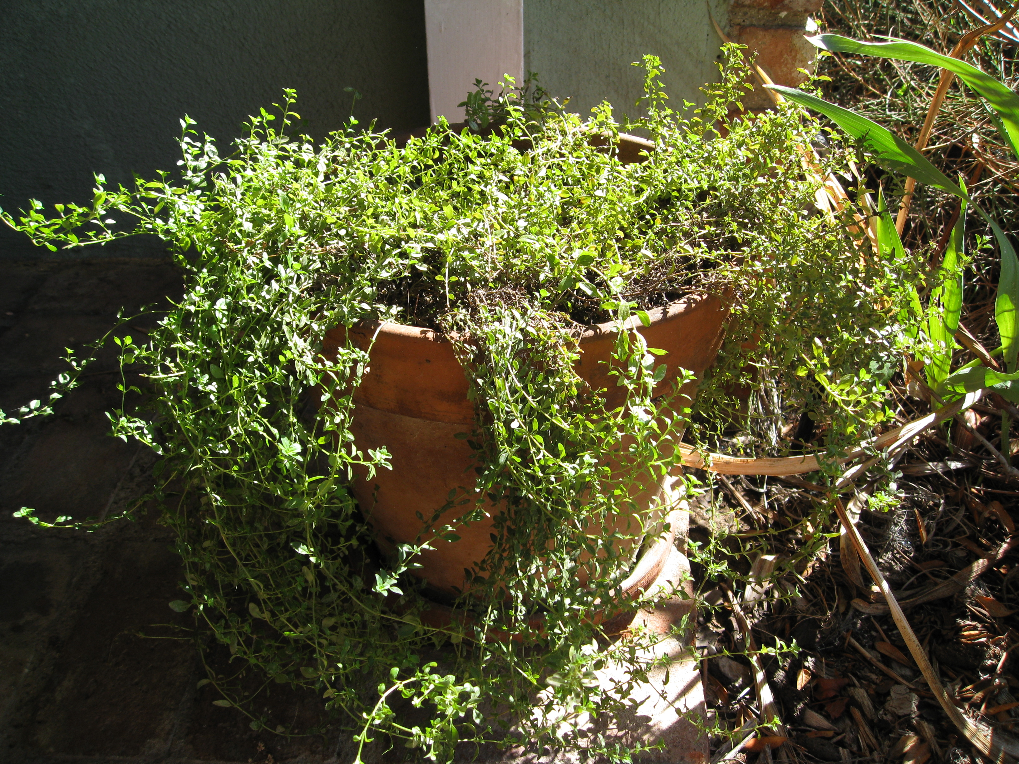 Overgrown thyme has woody gaps in the center