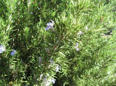Prune rosemary after it finishes flowering