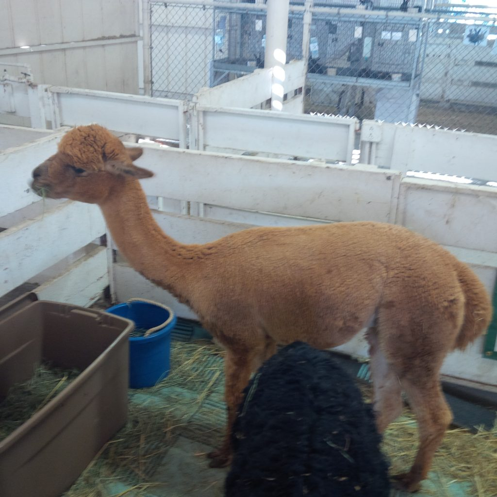 Cute, fuzzy alpacas. This one recently shorn.