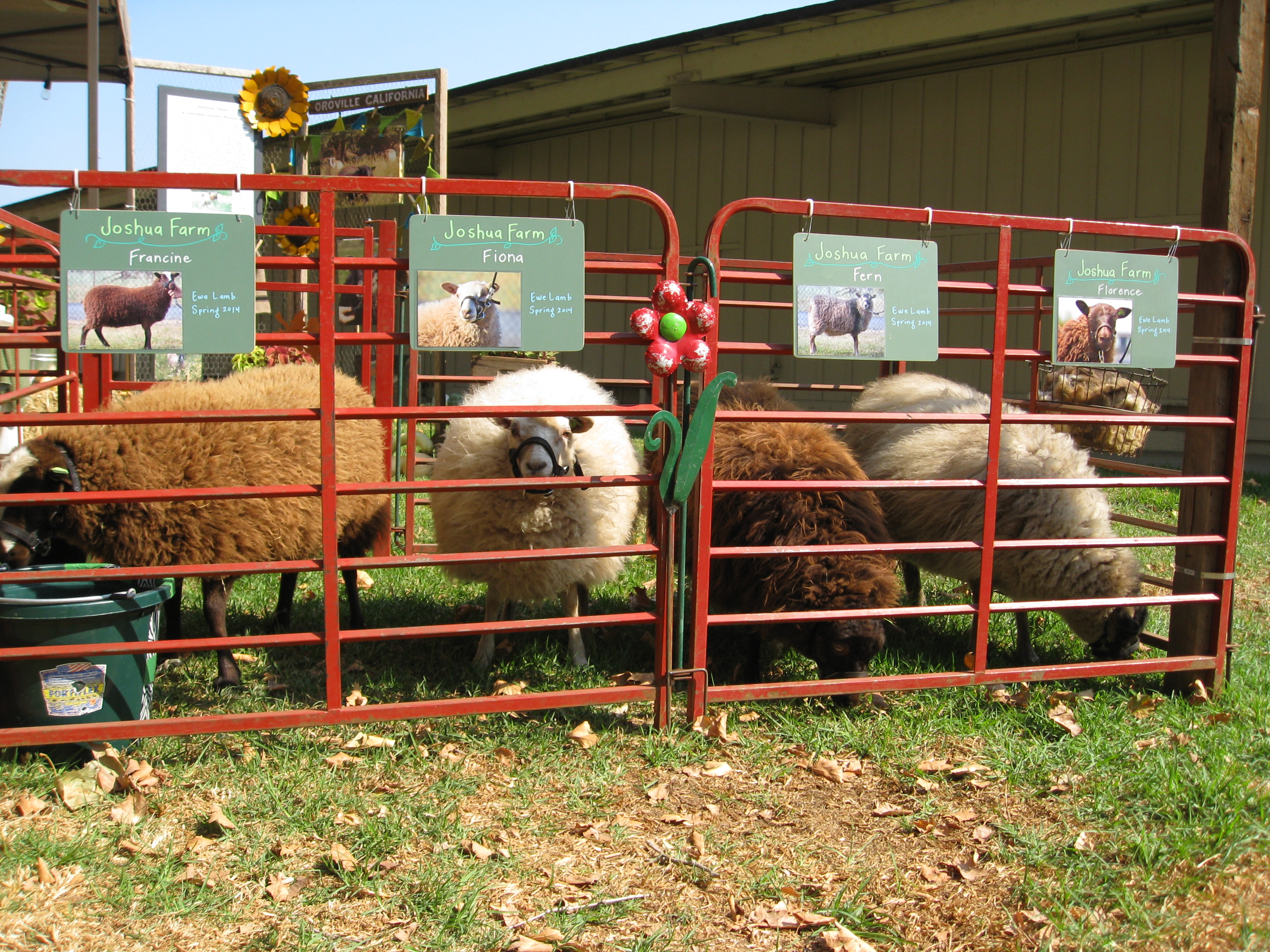 Joshua Farms showcased their sheep. Women were sitting close by spinning wool and knitting cozies.