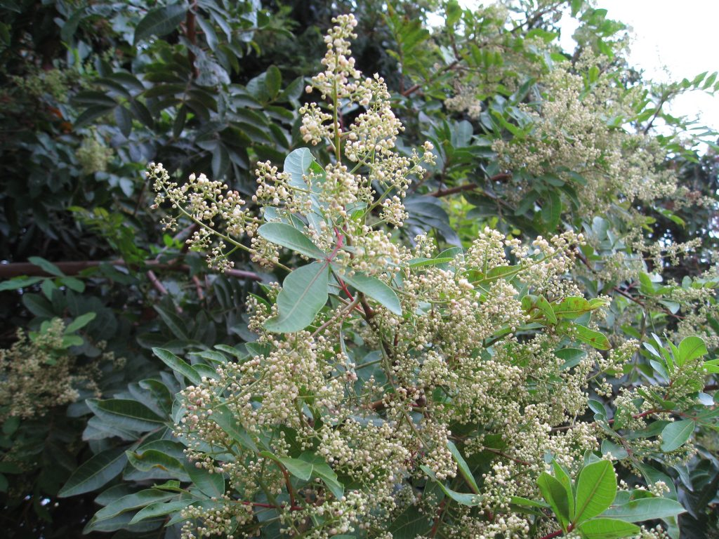 This pepper tree provides pollen and nectar for neighborhood bees.