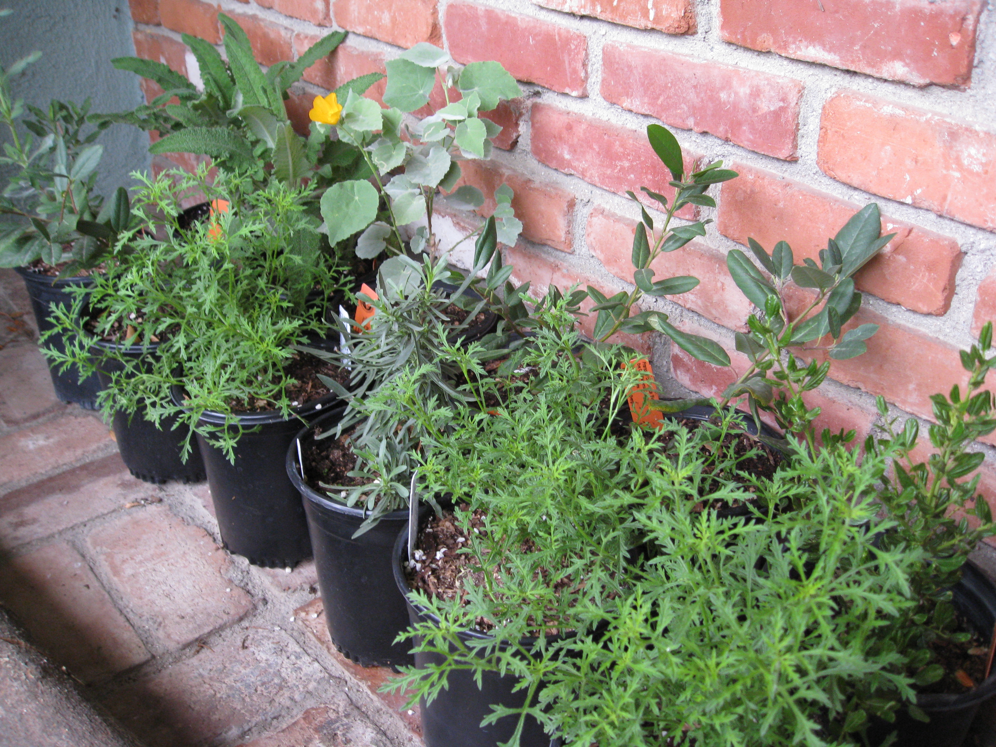 California native plants are ready to go in the ground now.