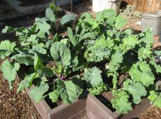 6 types of kale, 2 plants each
