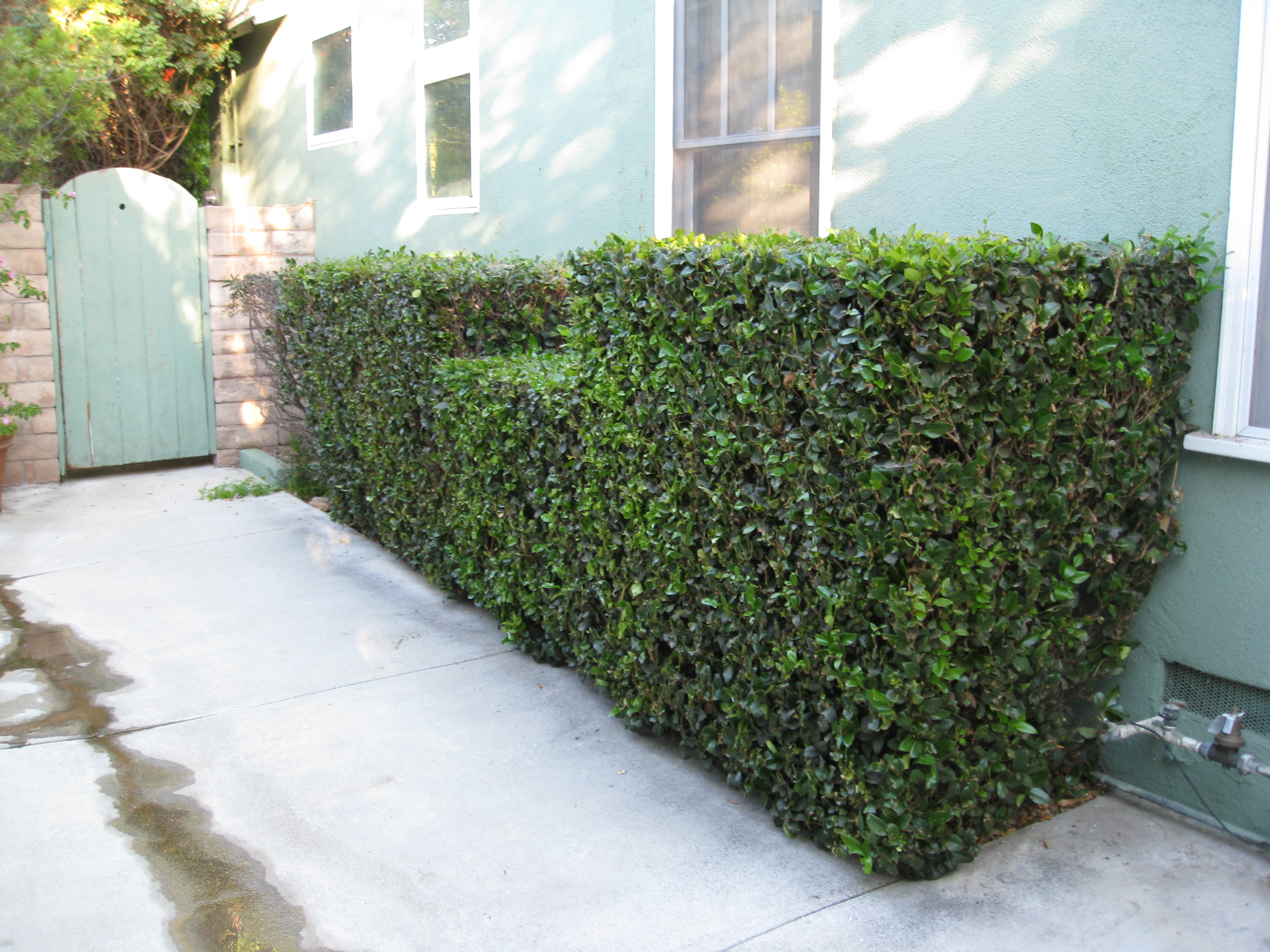 An old hedge became a useful space for growing food.