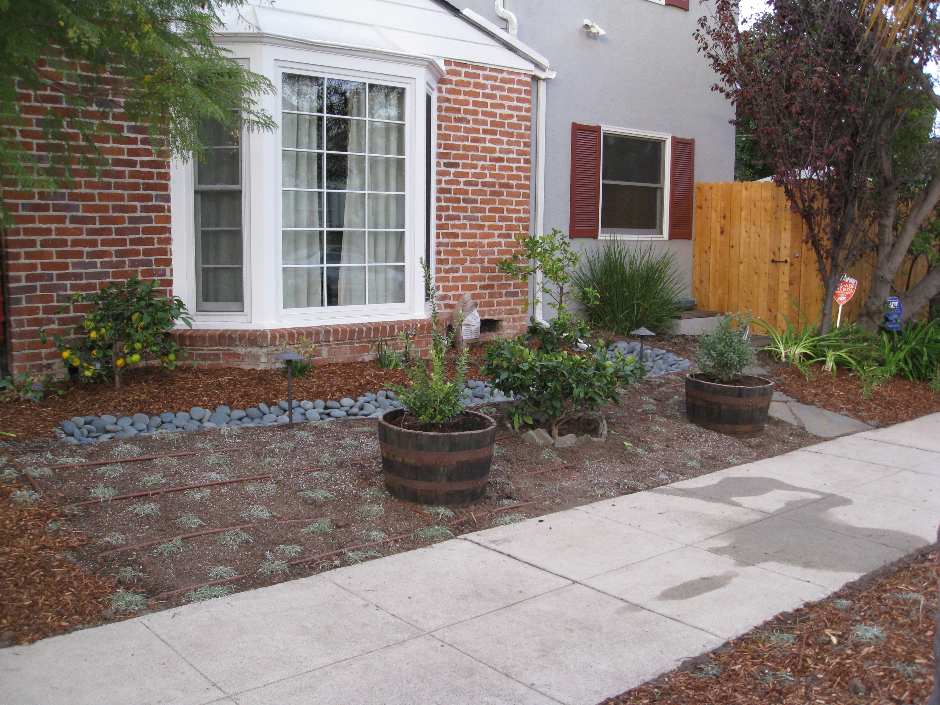 Transplanted citrus trees and two whiskey barrels of blueberries make up the new mini-orchard around a bioswale.