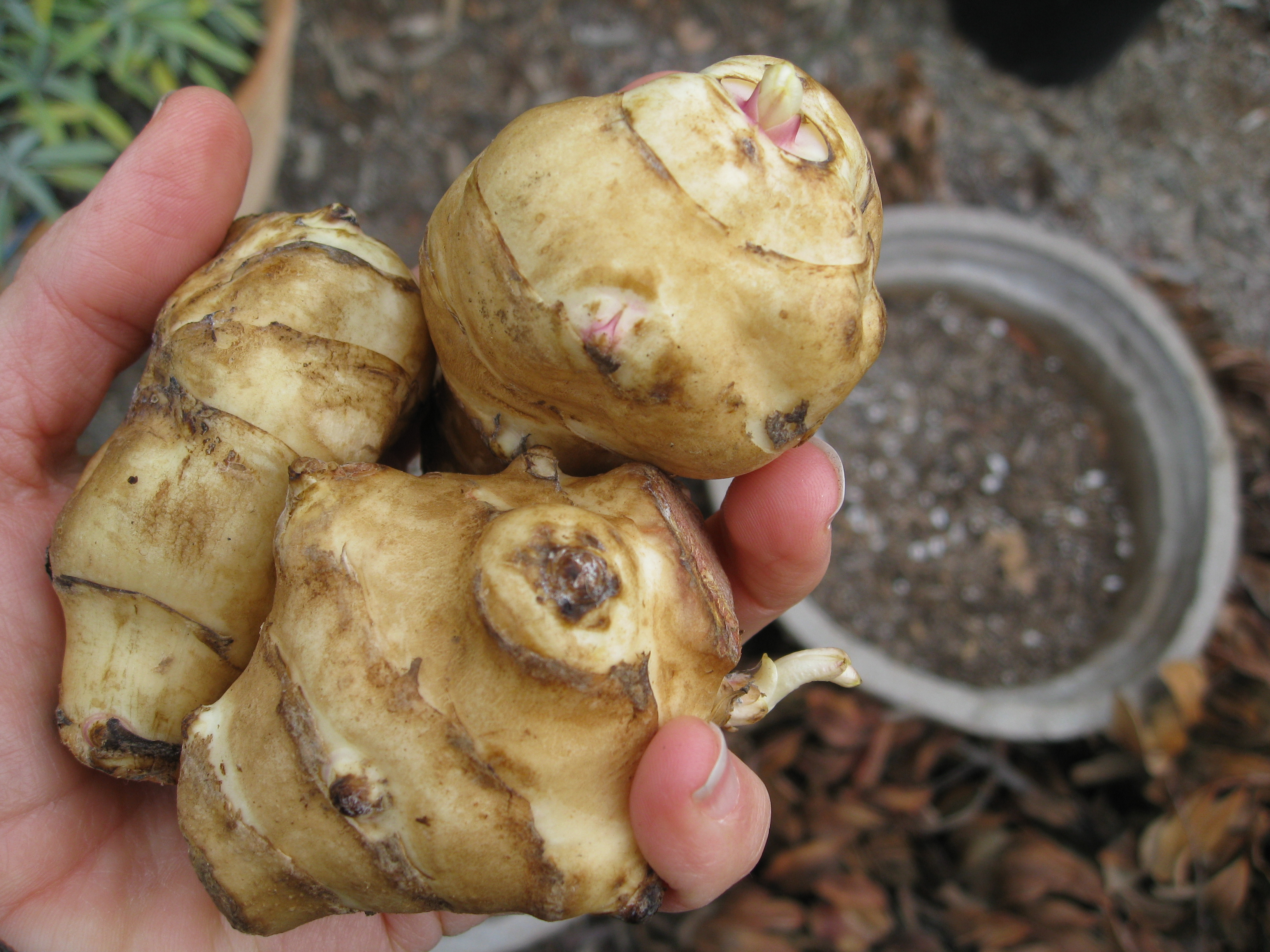 Jerusalem Artichokes (or sunchokes) that have sprouted.
