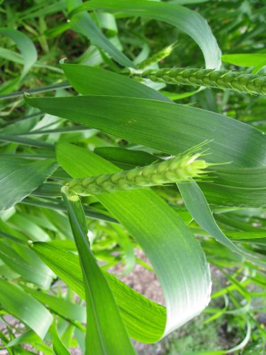 Read more about the article Growing White Sonora Wheat